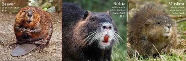 A Beaver's Teeth How to Identify a Nutr...