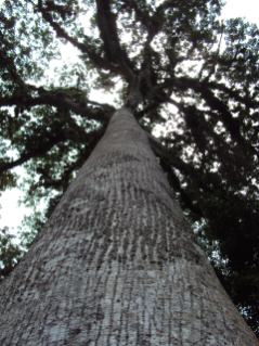 Large trees like this Ceiba are conserved by carbon projects.