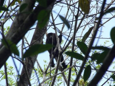 A howler monkey looks down from a tree in Belize.