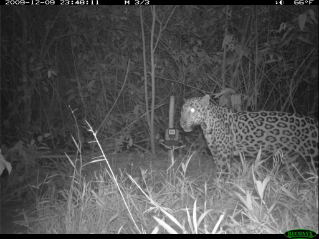 Field cameras were used to document the presence of secretive species like this jaguar.