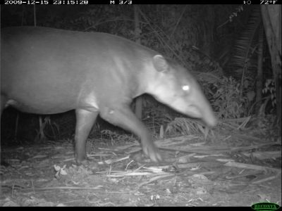 tapir captured on field camera.